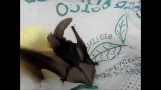 Plecotus auritus (pipistrello orecchione)