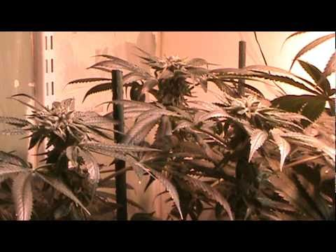 Cannabis grow - Bubba Kush- F 13  - RDWC - Flowering. Week 8