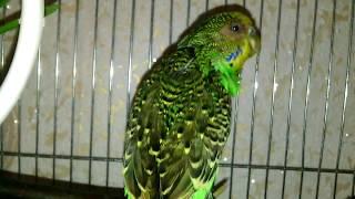 Как лечить волнистых попугаев в домашних условиях