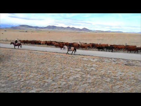 Americana ~ Cattle Drive in Our Front Yard!