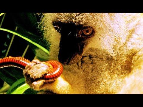 Drogue : un lémurien se défonce aux mille-pattes - ZAPPING SAUVAGE