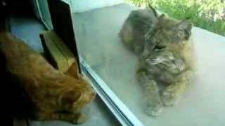 Indoor cat and bobcat 4