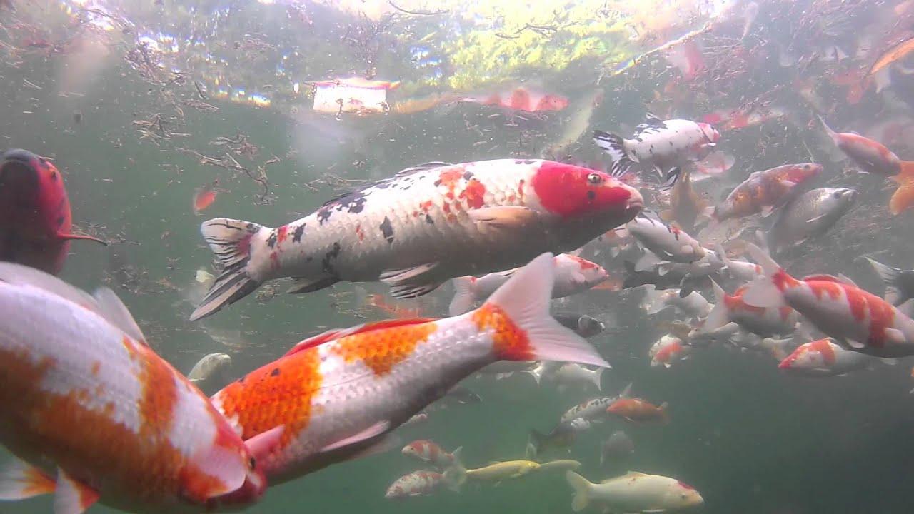 Gopro hd hero 2 eye of mine lens koi pond underwater youtube for Koi pond hd