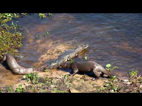 Otters vs Crocodile