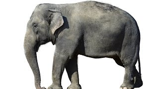 Elephant: Animals for Children Kids Videos Kindergarten Preschool Learning Toddlers Sounds Songs Zoo