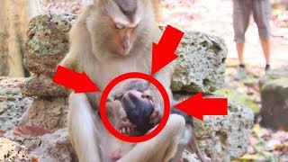 Awesome! What's Pigtail monkey doing on poor baby monkey?Why little baby monkey cry cus mum?