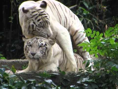 Video Clip - Tigers Having Sex - Singapore Zoo - Sidneysealine video