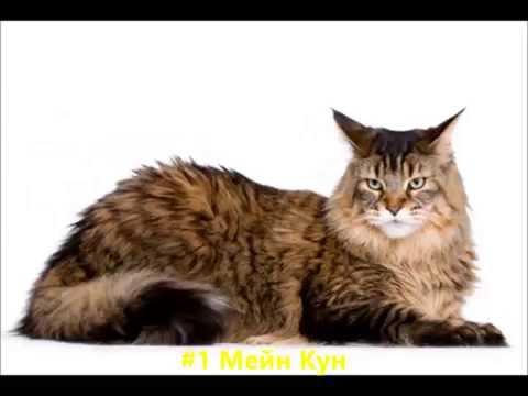 Топ 10 най-големите породи котки в света