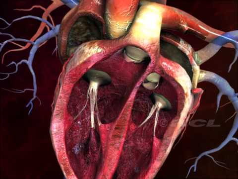 Digischool - Structure of the Human Heart