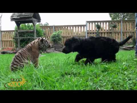 Dog Attacks Tiger At Mogo Zoo video