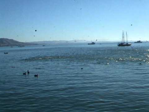 Big group of sea lions and pelicans chasing fish ball