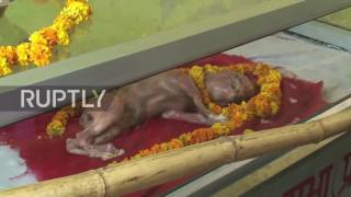 Video: Dead calf with 'human-like' features worshiped as Hindu God in India