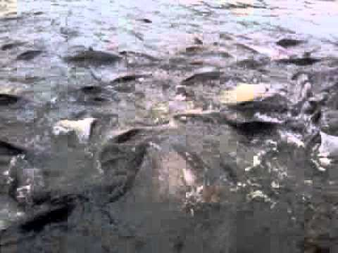 Fish feeding in Chao Praya River Thailand