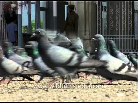 Pigeons flock together at Jama Masjid, Srinagar