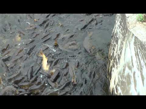 Spillway Fish pa Linesville Spillway pa