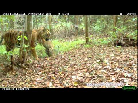 WWF - Update - Sumatran Tiger Cubs Caught on Camera in Threatened Forest.flv