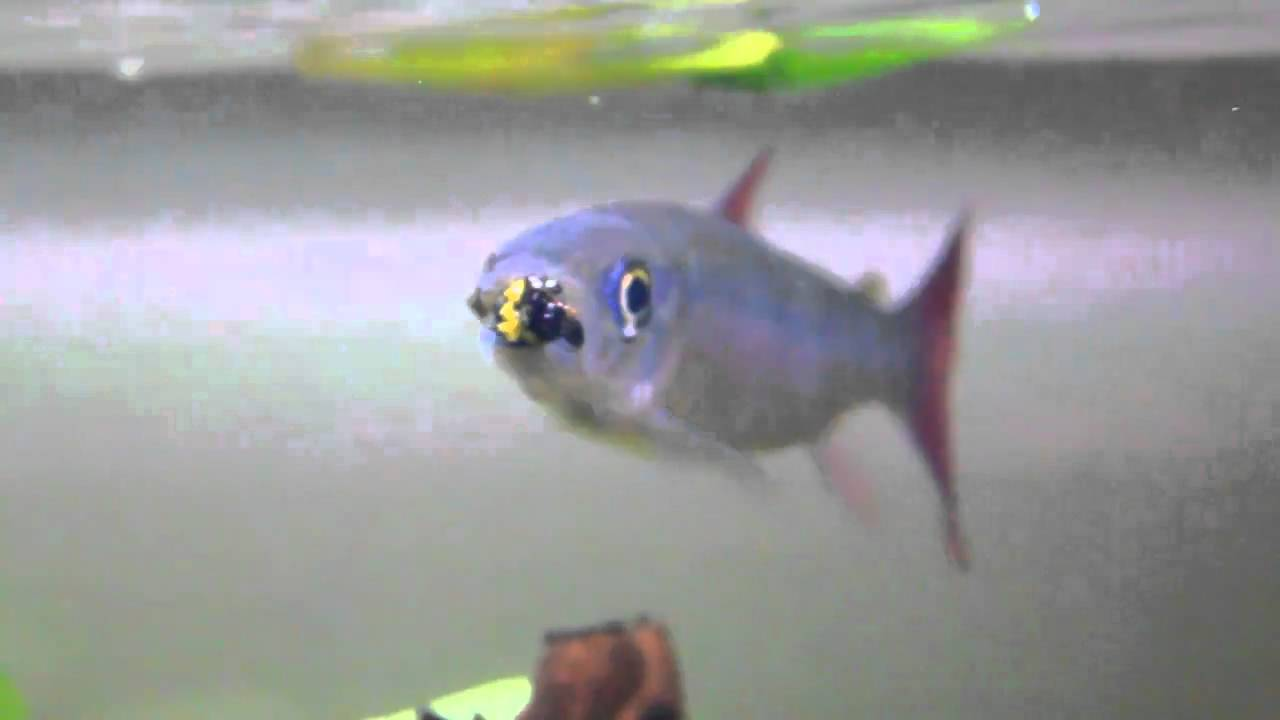 My chalceus redtail fish chalceus macrolepidotus eating for Shark tail fish