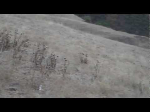 Coyotes in Mission Peak Video