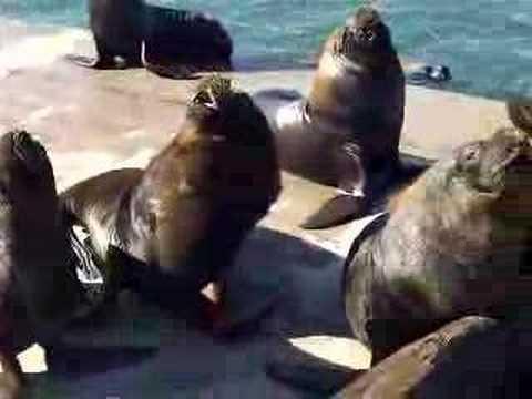 Pelea de lobos marinos
