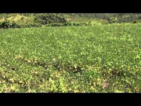 SAG Informa: Estrategia implementada por gobierno contrarresta escasez de frijol