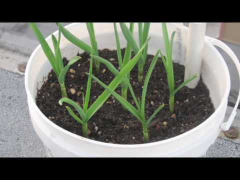 Planting Garlic in Containers