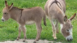 Miniature donkeys may be the cutest livestock we've ever seen