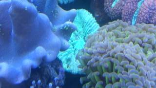 What to do about Flatworms on your coral