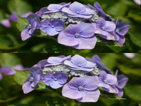 3D Last Hydrangea of Summer (Stereoscopic DOF HD Video)