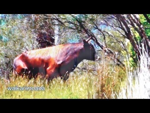 hunting-wild-bull-in-new-zealand-part-1bow-hunting.html