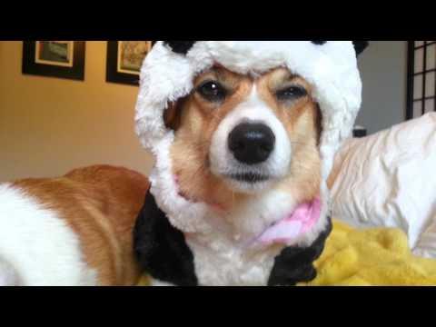 Unhappy Corgis in Panda Costumes