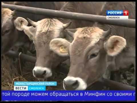 Швидские коровы