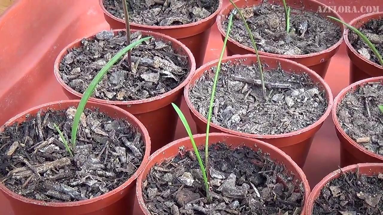 Гиппеаструм выращивание из семян домашних условиях 58