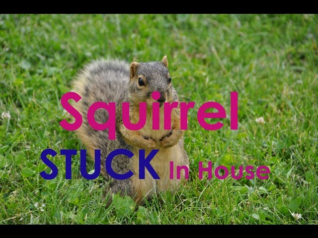 Squirrel Stuck In House