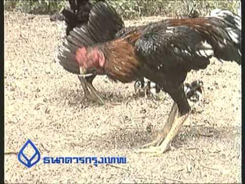 06 การเลี้ยงไก่ชน.mpg