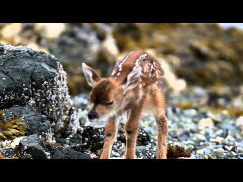Thumbnail of video new born deer