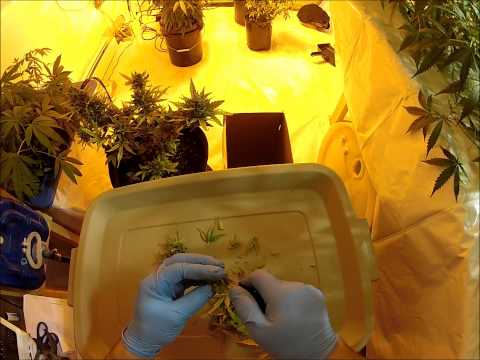 Harvesting Dinafem Autoflower Amnesia Legal Medical Marijuana