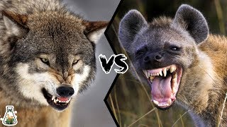 GREY WOLF VS SPOTTED HYENA - Who would win?