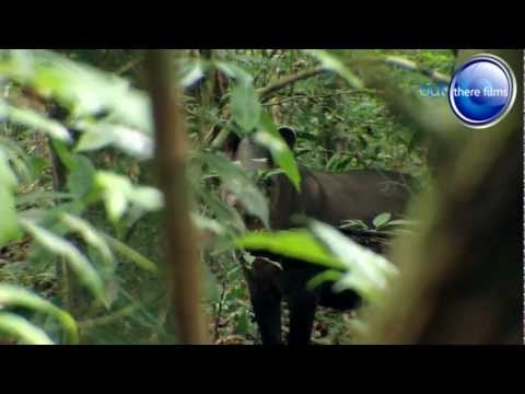 Tapir Attack - Fishing Expedition Amazonia
