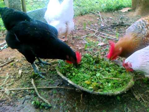 Organic Backyard Small Poultry Youtube