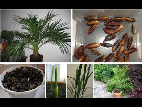 Как выращивать унаби из косточки в домашних