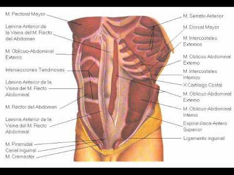 Los músculos de nuestro cuerpo