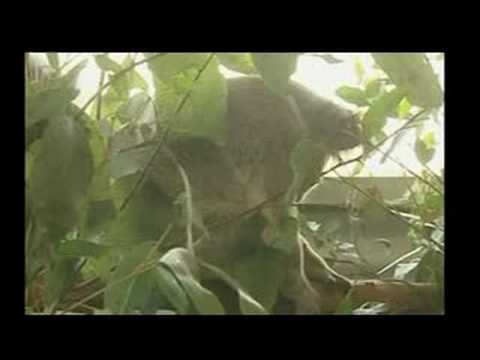 Koala Unhurt After Motor Mishap