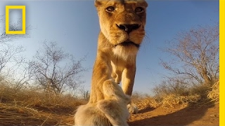 POV: If A Lion Bit You, Here's What You'd See | National Geographic