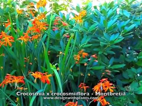 Crocosmia Crocosmiiflora Montbretia Crocosmia x Crocosmiiflora