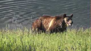Grizzly sow with young cub playing on lakeshore - Glacier National Park - August 2012