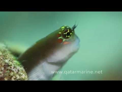 Qatar Marine hidden treasure 2 by Khaled Zaki  من كنوز قطر البحريه   خالد ذكي