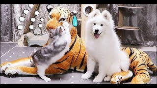 Is Samoyed really meek? Dog and cat's reaction after watching a tiger doll.
