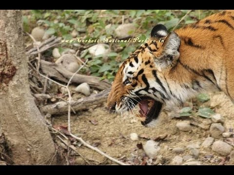 Jim Corbett National Park India - Tiger - Safari - Widllife Tour - Corbett Tiger Reserve
