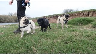 Pablo met other PUGS! (and lots of other dogs)