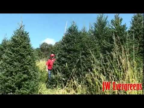 JW Evergreens   Wholesale Christmas Trees from Sparta NC